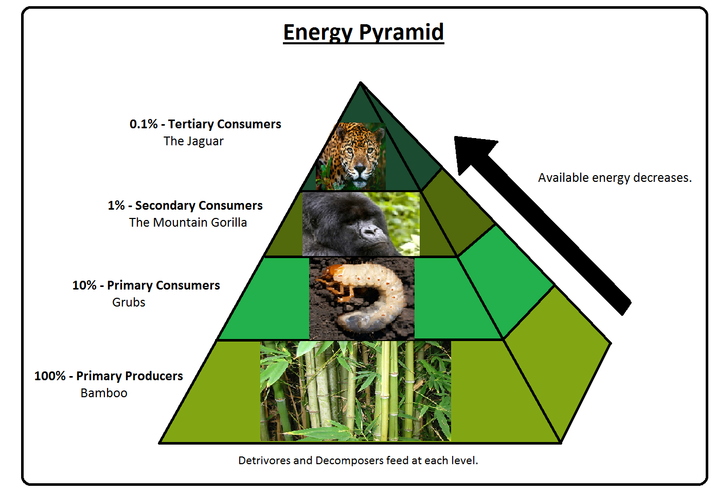 Amazon Tropical Rainforest Food Pyramid